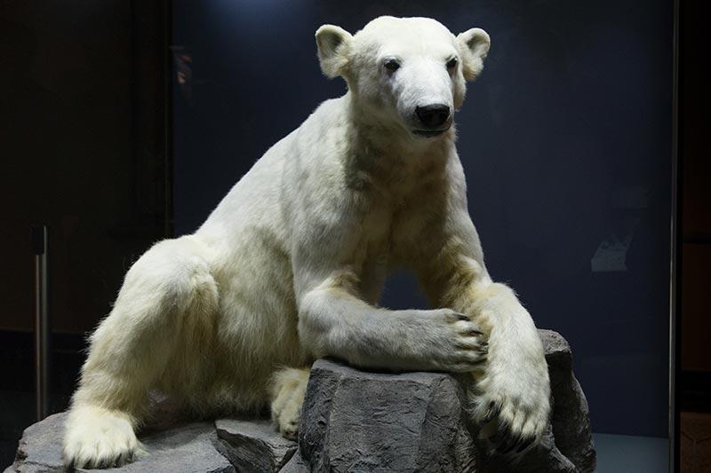 Knut-, le célèbre ourse du Zoo de Berlin -  Photo Didier Laget