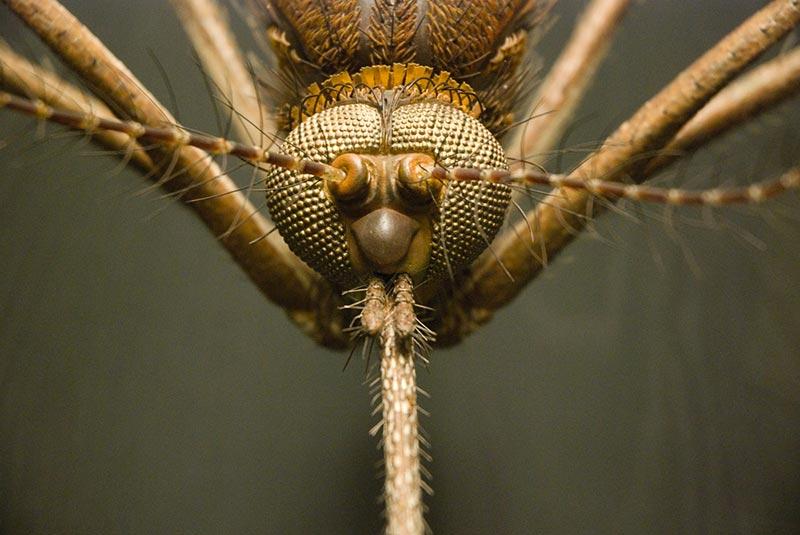 Moustique géant de face - photo Didier Laget